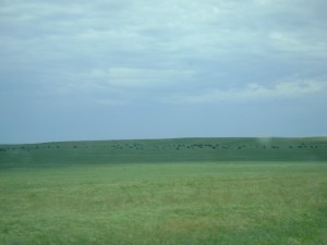 It's very flat out here (and there are a lot of Buffalo)